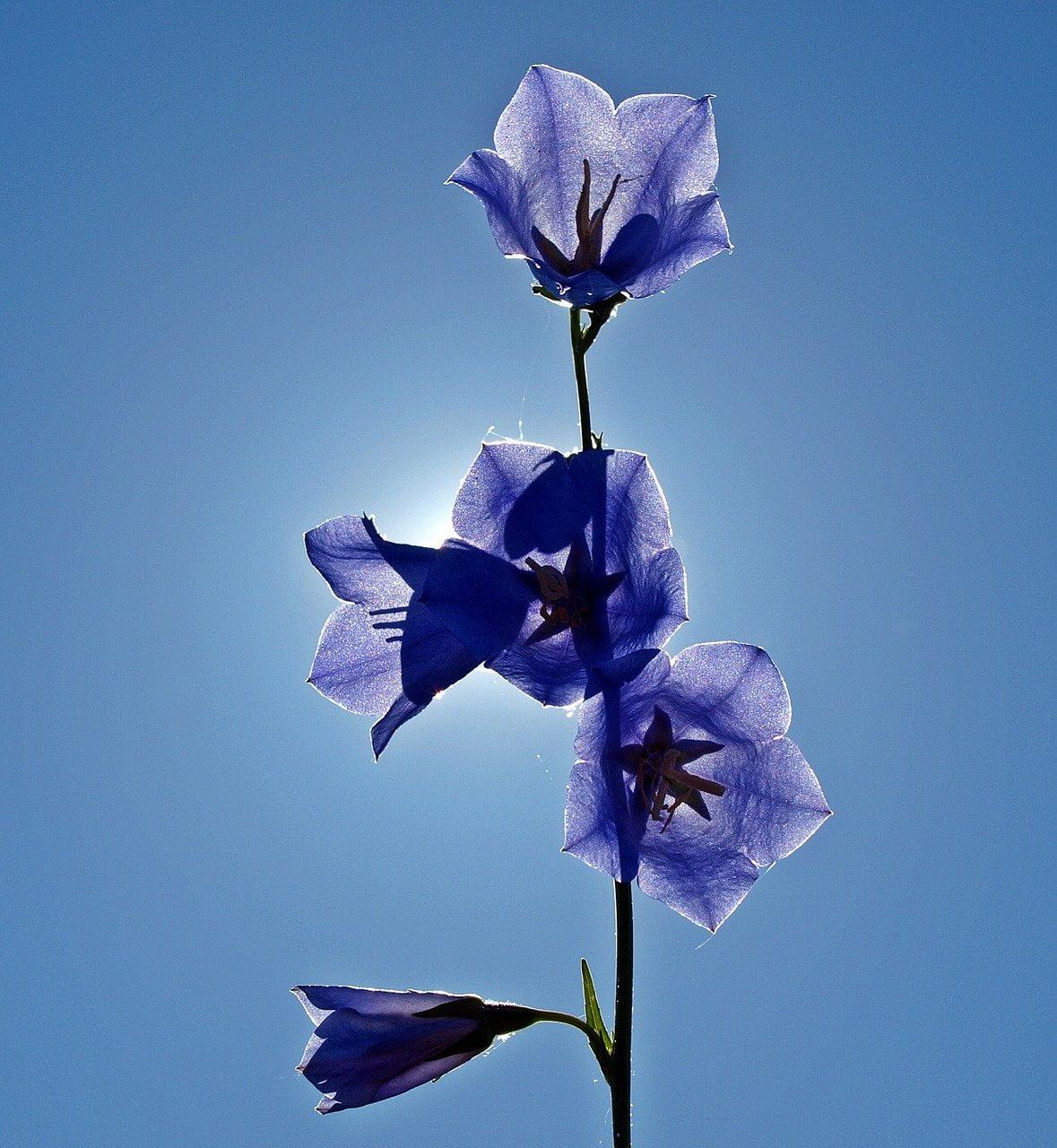 bellflowers, backlighting, flowers