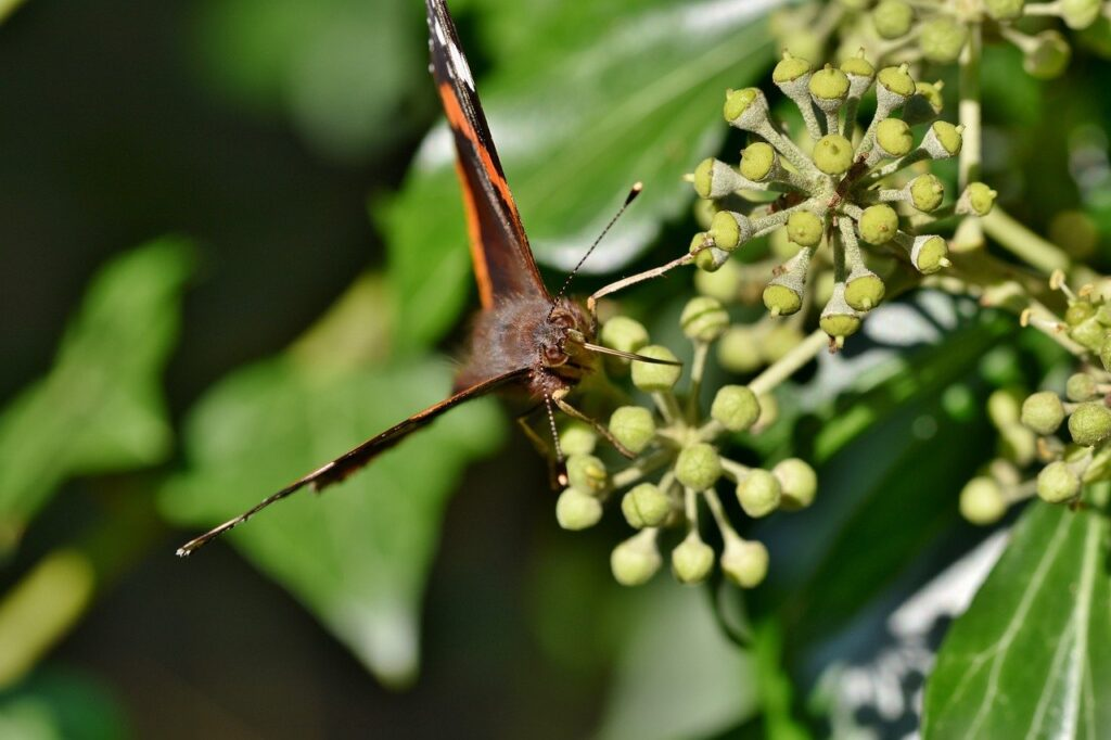 butterfly, admiral, butterfly wings