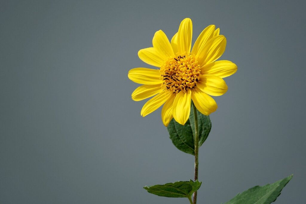 jerusalem artichoke, sunflower, flower