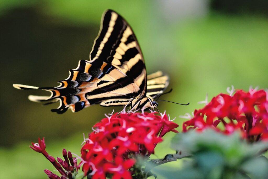 swallowtail, butterfly, flower