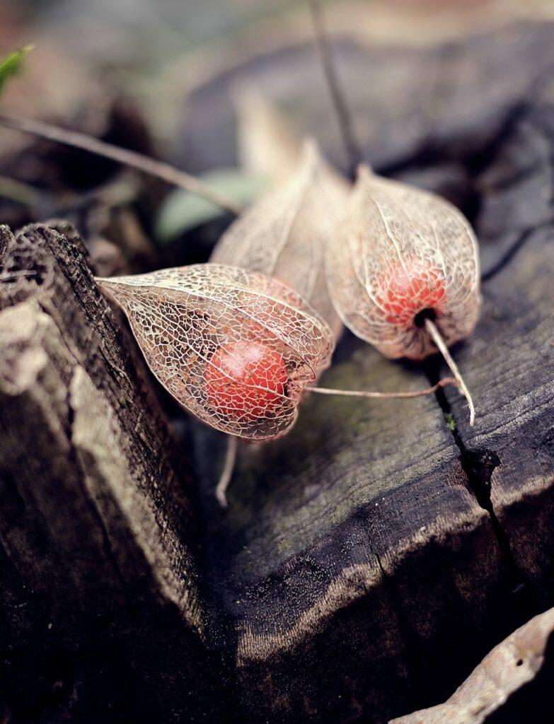physalis, cape gooseberry, winter